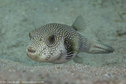 BD-121129-Aqaba-7796-Arothron-hispidus-(Linnaeus.-1758)-[White-spotted-puffer].jpg